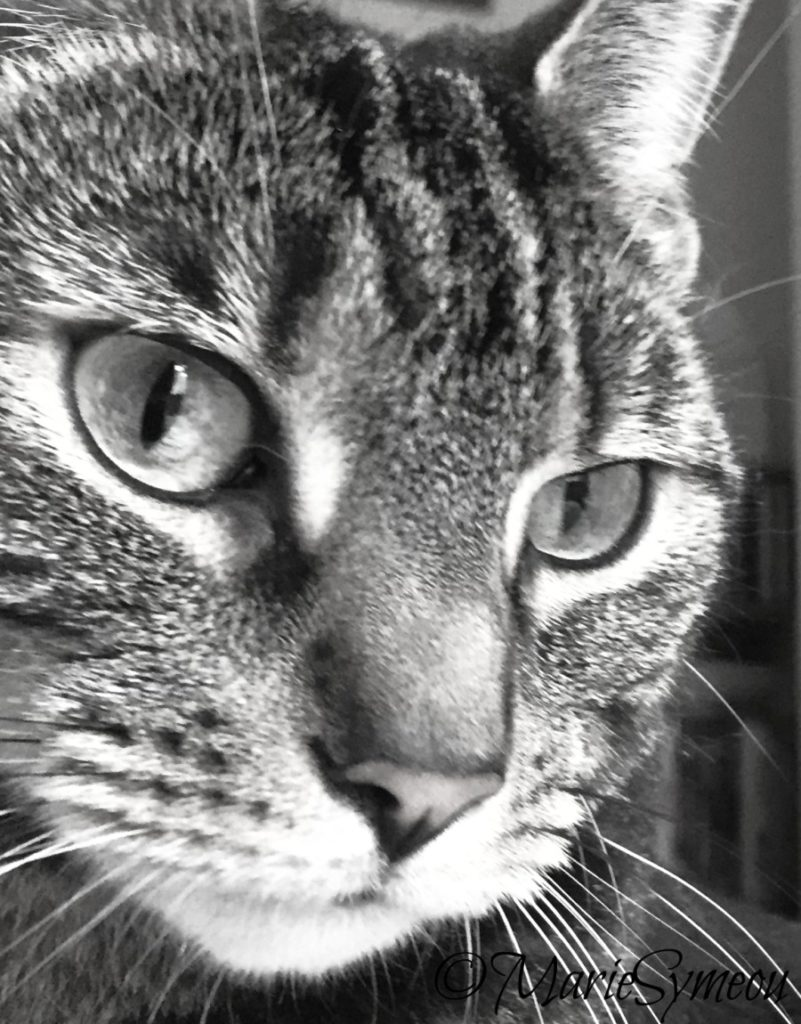 beautiful tabby markings in black and white