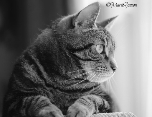 black and white Sunday tabby cat profile